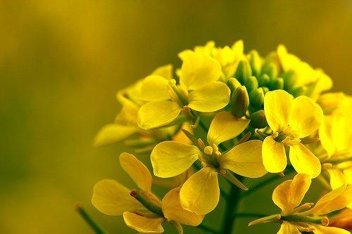 Corso professionale riconosciuto on-line di Floriterapia. Fiori del Dott. Bach - Mustard